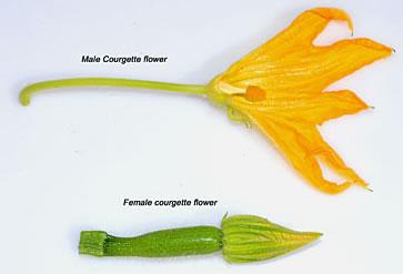 male vs female zucchini flowers
